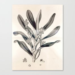 Vanda multiflora Canvas Print
