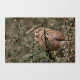 Little sparrow in the tress Canvas Print
