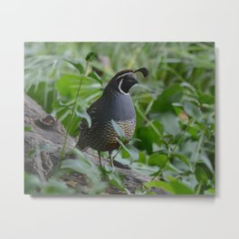 mr quail Metal Print