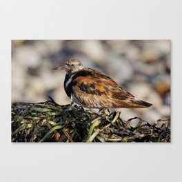 Ruddy Turnstone on Seaweed Mountain at the Beach Canvas Print