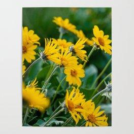 No. 7 Okanagan Sunflowers at Dawn Poster