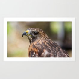 Red-Shouldered Hawk Portrait Art Print