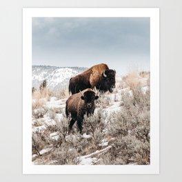 Bison Bulls in Yellowstone Art Print