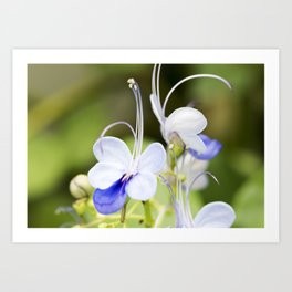 Blue Glory Bower Anthers Art Print
