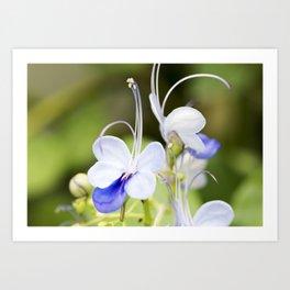 Blue Glory Bower Anthers Art Print