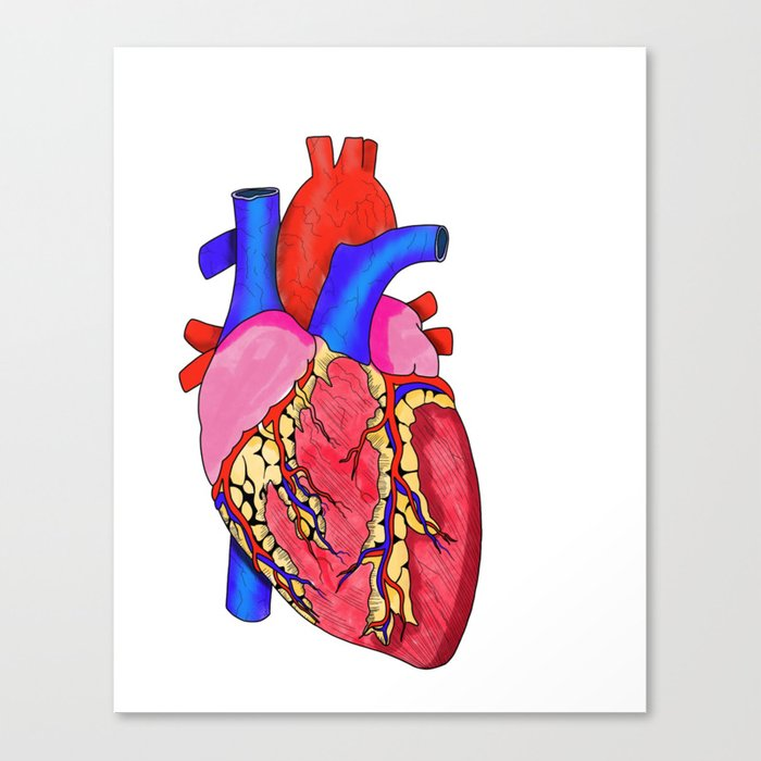 Anatomical Heart Illustration Medical Illustration Human Heart