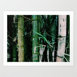 Bamboo plants in Colombia Art Print