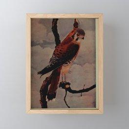 American Sparrow Hawk falco sparverius4 Framed Mini Art Print