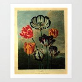 tulips by Robert John Thornton (1807) Art Print