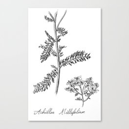 Yarrow Botanical Illustration Canvas Print