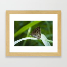 Ypthima SP Butterfly Borneo Framed Art Print