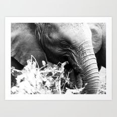 Young elephant feeding in black and white Art Print