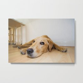 Labrador Retriever lying on the floor Metal Print