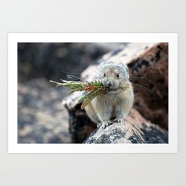 American Pika Gathering Plants Art Print