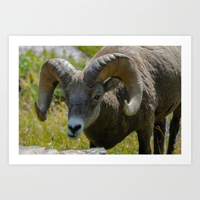 Bighorn Sheep Close-up Art Print