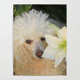 Poodle dog and Amaryllis Poster