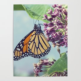 Monarch butterfly perched on pink swamp milkweed flowers Poster