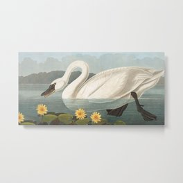 Common American Swan by John James Audubon Metal Print