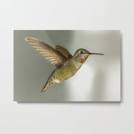 Female Hummingbird Metal Print