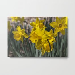 Daffodils 2 Metal Print