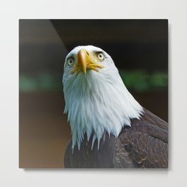 Bald Eagle Head Metal Print