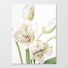 VI. Vintage Flowers Botanical Print by Pierre-Joseph Redouté - Crinum Jagus Canvas Print