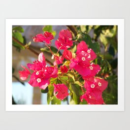 Bougainville in the sunset Art Print