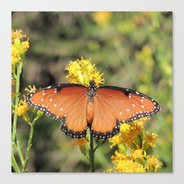 Queen Butterfly on Rubber Rabbitbrush in Claremont CA Canvas Print