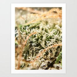 Diamond OG Indoor Hydroponic Close Up Trichomes Viewing Art Print