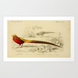 D'Orbigny - Universal Dictionary of Natural History; Birds (1849): 7B Golden Pheasant Art Print