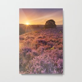 Blooming heather at sunrise at the Posbank, The Netherlands Metal Print