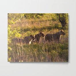 Lions at Tembe elephant park Metal Print