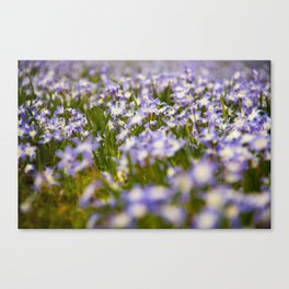 a sea of squill blossoms Canvas Print