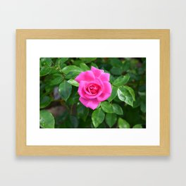 pink rose Framed Art Print