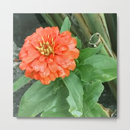 Glorious Red Zinnia Flower Hidden in Bamboo Garden Metal Print