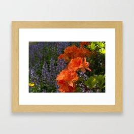 Orange Azalea Flowers in Bloom Framed Art Print