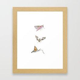 Biro and coloured pencil illustration of hawkmoths Framed Art Print