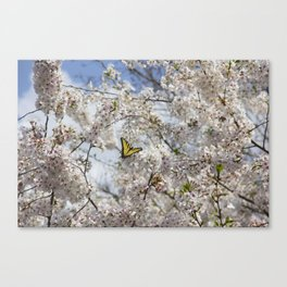 Swallowtail Butterfly in Cherry Blossoms Canvas Print