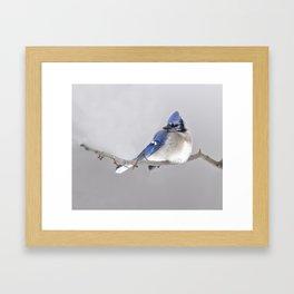 Winter Birds - Blue Jay Framed Art Print