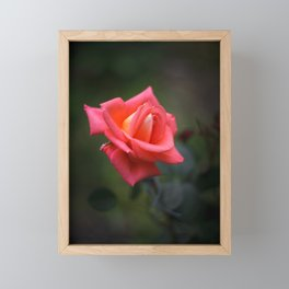 Red rose on a dark background Framed Mini Art Print