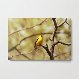 American Goldfinch on a Tree Branch Metal Print