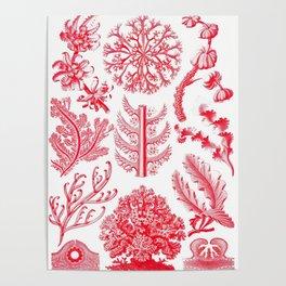 Ernst Haeckel Florideae Red Algae Poster