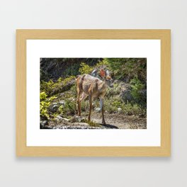 Crossing Paths with a Black-Tailed Deer Framed Art Print