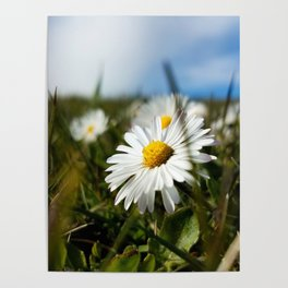 Close-up Daisy Poster