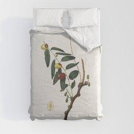 Jujube (Ziziphus vulgaris) from Pomona Italiana (1817 - 1839) by Giorgio Gallesio (1772-1839) Comforters