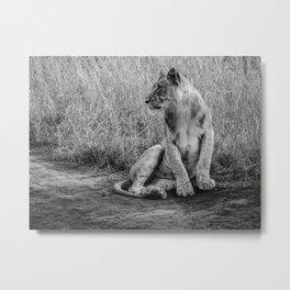 Pensive Lion Metal Print