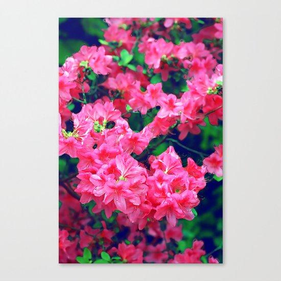 Pink azalea blooms. Canvas Print