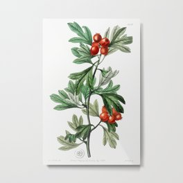 orocco hawthorn from Edwards's Botanical Register (1829—1847) by Sydenham Edwards, John Lindley, and Metal Print
