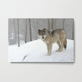 A lone wolf Metal Print