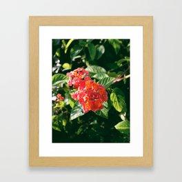 Ruby Lantana Camara Framed Art Print
